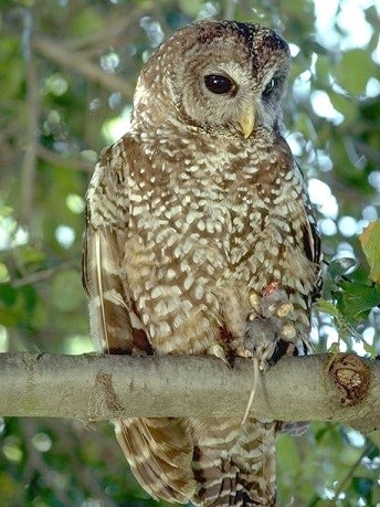 Northern Spotted Owl holding a mouse