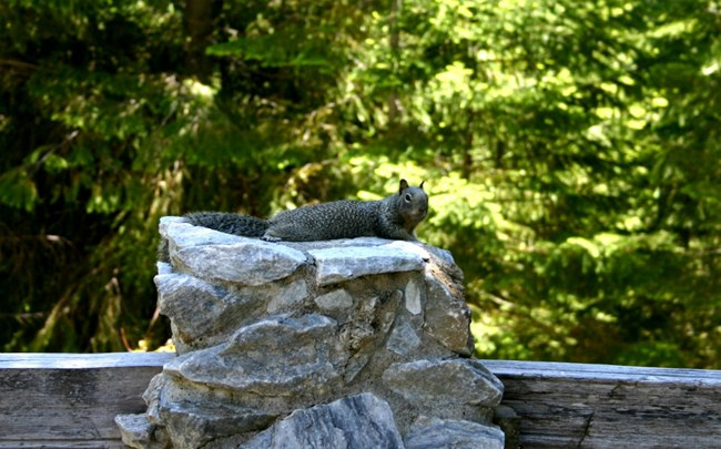 California ground squirrel lounging on a stone pillar of a fence.