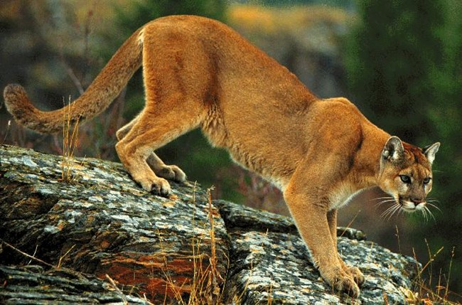 Cougar standing on a rock formation.