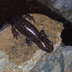 Pacific Giant Salamander (Dicamptodon ensatus) inside Oregon Caves