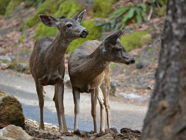 Two Columbian black-tailed deer along the trail in the park.