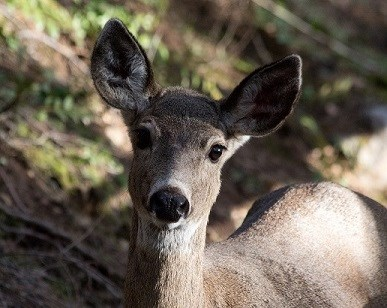 upclose picture of columbian blacktail deer