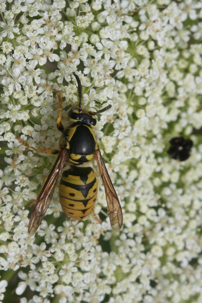 yellow jacket wasp on flower