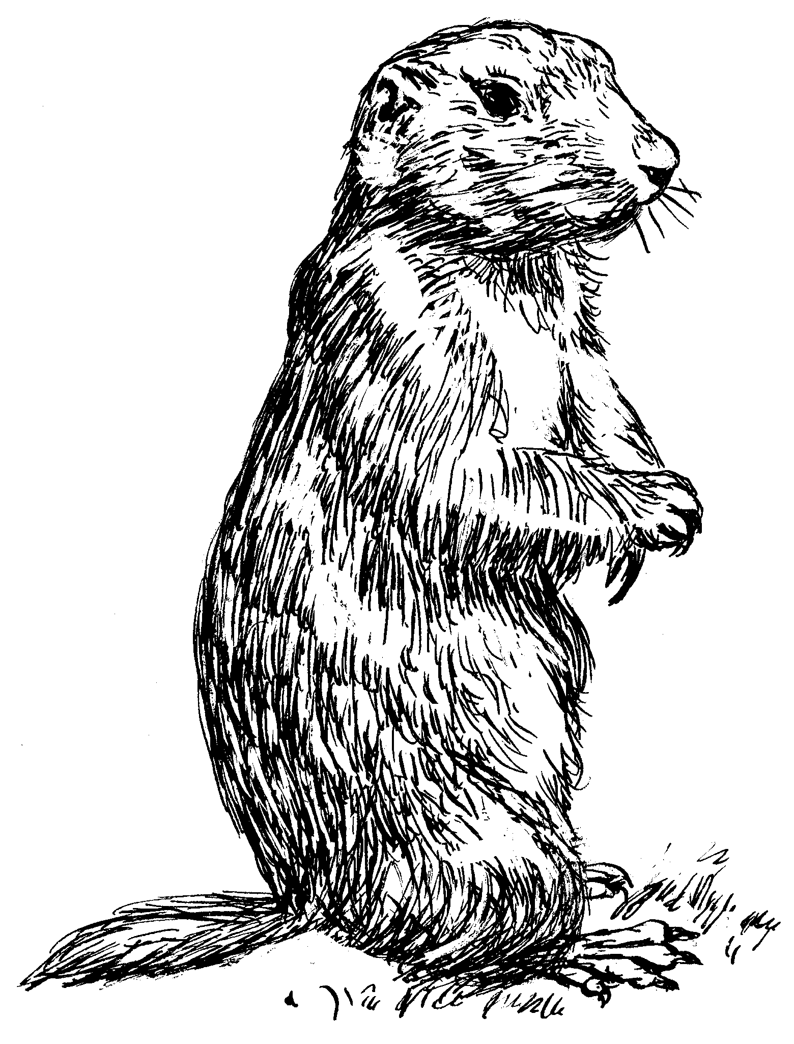 drawing of a prairie dog standing on hind feet