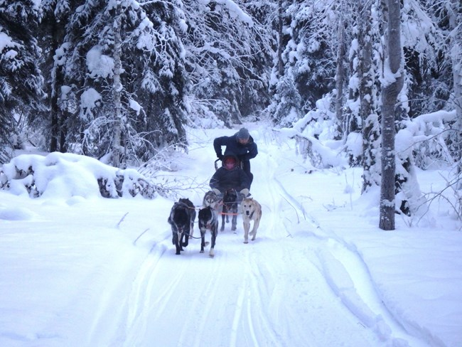 Sled-dogs on trail.