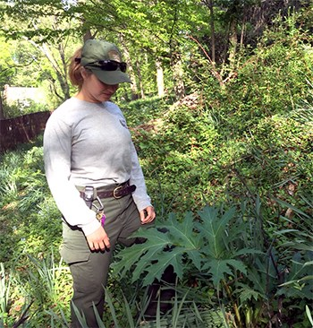 Exotic Plant Management Team leader examines an invasive plant