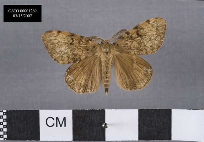 a tan colored gypsy moth pinned and mounted next to a centimeter rule.