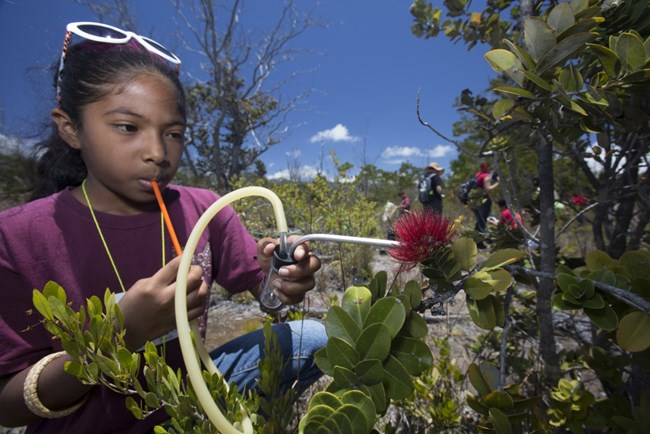 A young girl on a student inventory in Hawai'i Volcanoes National Park, looking at flower species