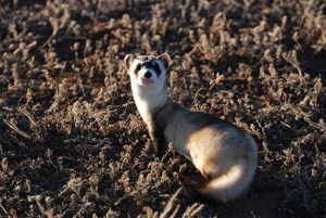 A blackfooted ferret looks at the camera over its shoulder