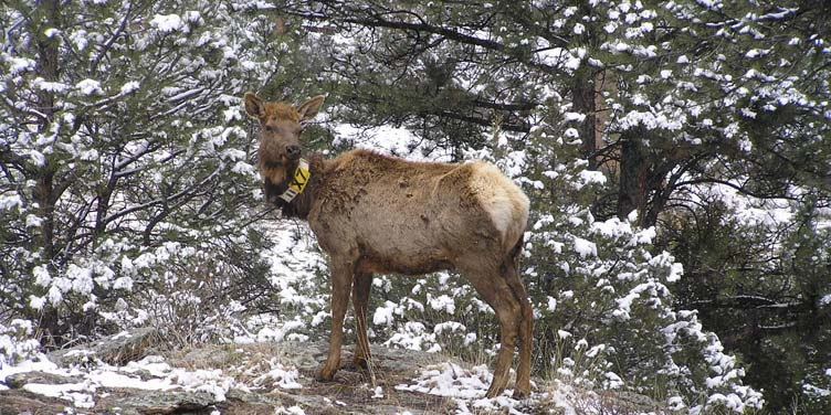 A young elk with a technically sophisticated collar around its neck