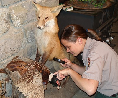 A ranger inspects museum items for pests