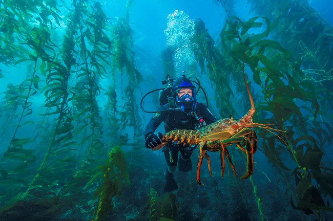 Scuba diver holds a large lobster underwater
