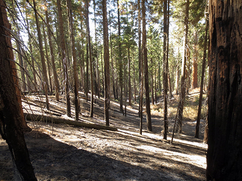 Forest with vegetation burned off beneath pine trees.