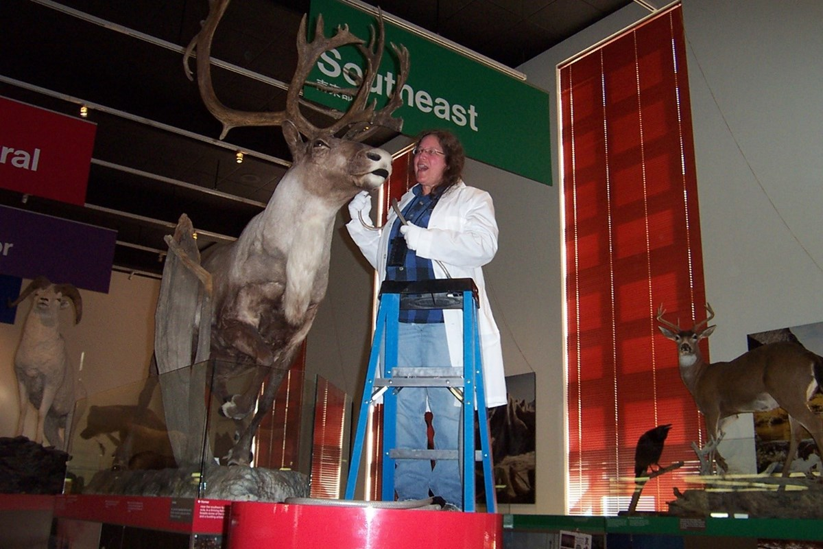 Margaret carefully cleans a taxidermal caribou from atop a ladder