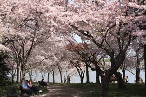 Cherry trees bloom over a path by the Tidal Basin.