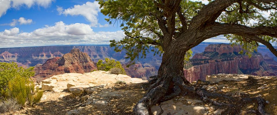 A tall tree stands in shade in front of a sunny, expansive Grand Canyon.
