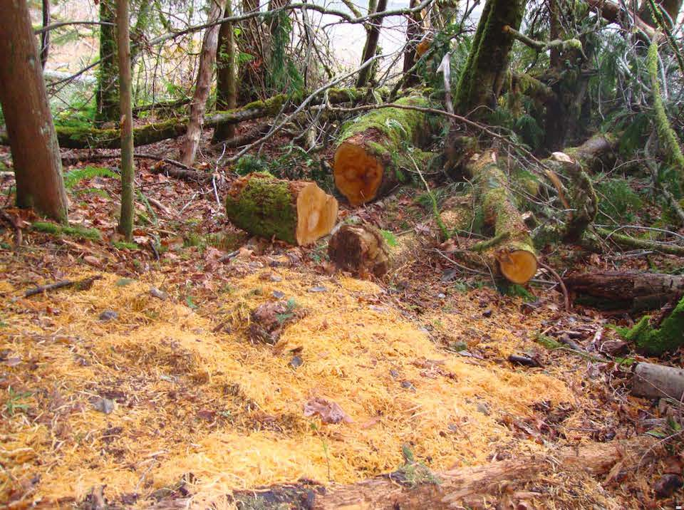 A big leaf maple tree that was illegally felled in Olympic National Park lies in pieces on the forest floor.