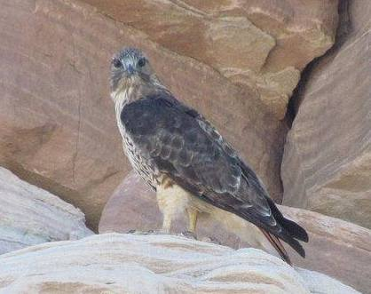 A Red-tailed Hawk atop a sandstone outcrop in Petrified Forest National Park. NPS photo.