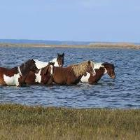 Horses walking through the water