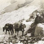 A black and white image of pack mules.