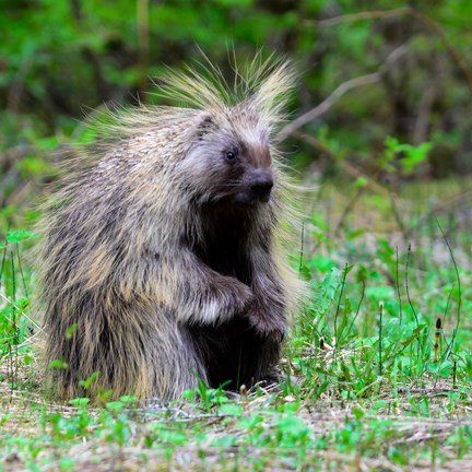 a porcupine stands in green vegetation