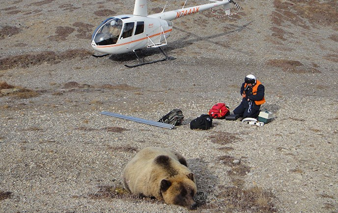 A person wearing protective gear examines equipment midway between a helicopter in the background and a grizzly bear that lies unmoving in the foreground
