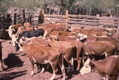 roundup of cattle in alamo canyon