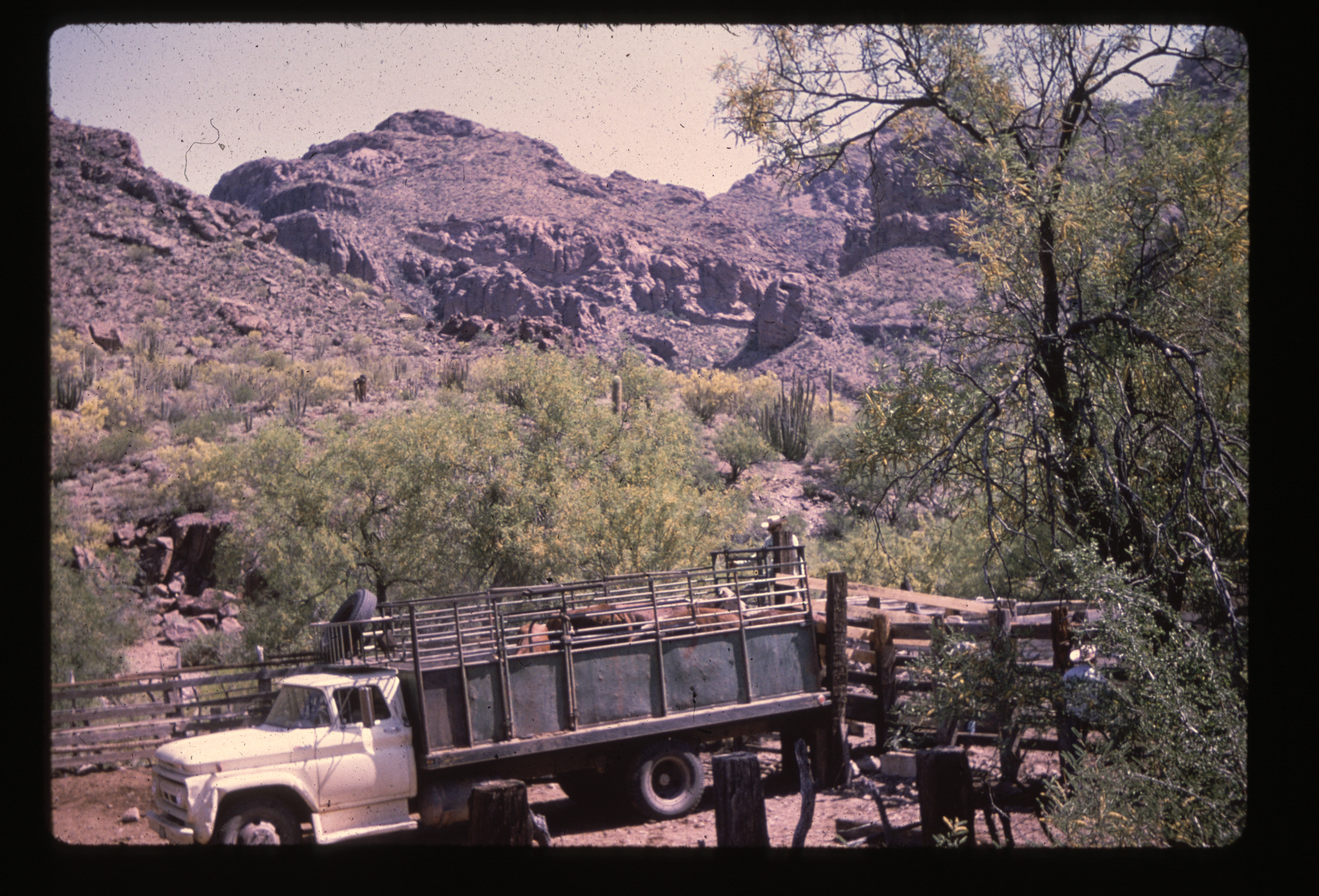 Final cattle being removed, 1972