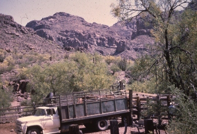 final cattle being removed by truck in 1972