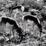 Pronghorn Black & White