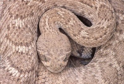 closeup of curled up diamondback rattlesnake