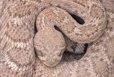 Image result for desert rattlesnake