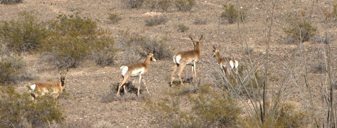 Sonoran Pronghorn On The Move