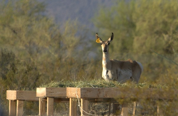 Pronghorn At Feeding Station