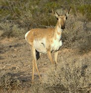 Sonoran Pronghorn Doe