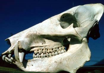 Javelina Skull that shows tusks and teeth.