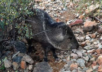 The collard peccary is commonly known as a javelina.