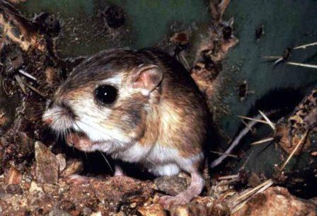 Kangaroo Rat at the base of a prickly pear cactus