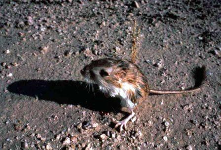 Kangaroo Rats have long tails to increase their balance and large hind legs for jumping long distances