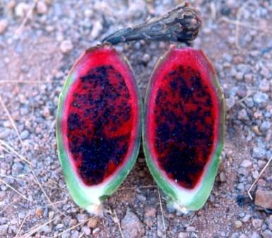 cross section of a saguaro fruit