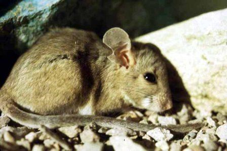 Woodrat (Packrat)
