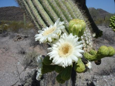 white bloom of the saguaro cactus