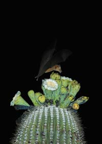 lesser long-nosed bat feeding from Sagauro flowers