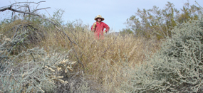 Volunteer helping remove buffel grass