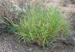buffel grass
