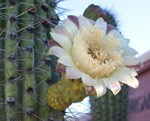 Organ Pipe Cactus Blossom, open only at night.