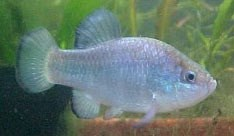 This is an endangered Quitobaquito pupfish.