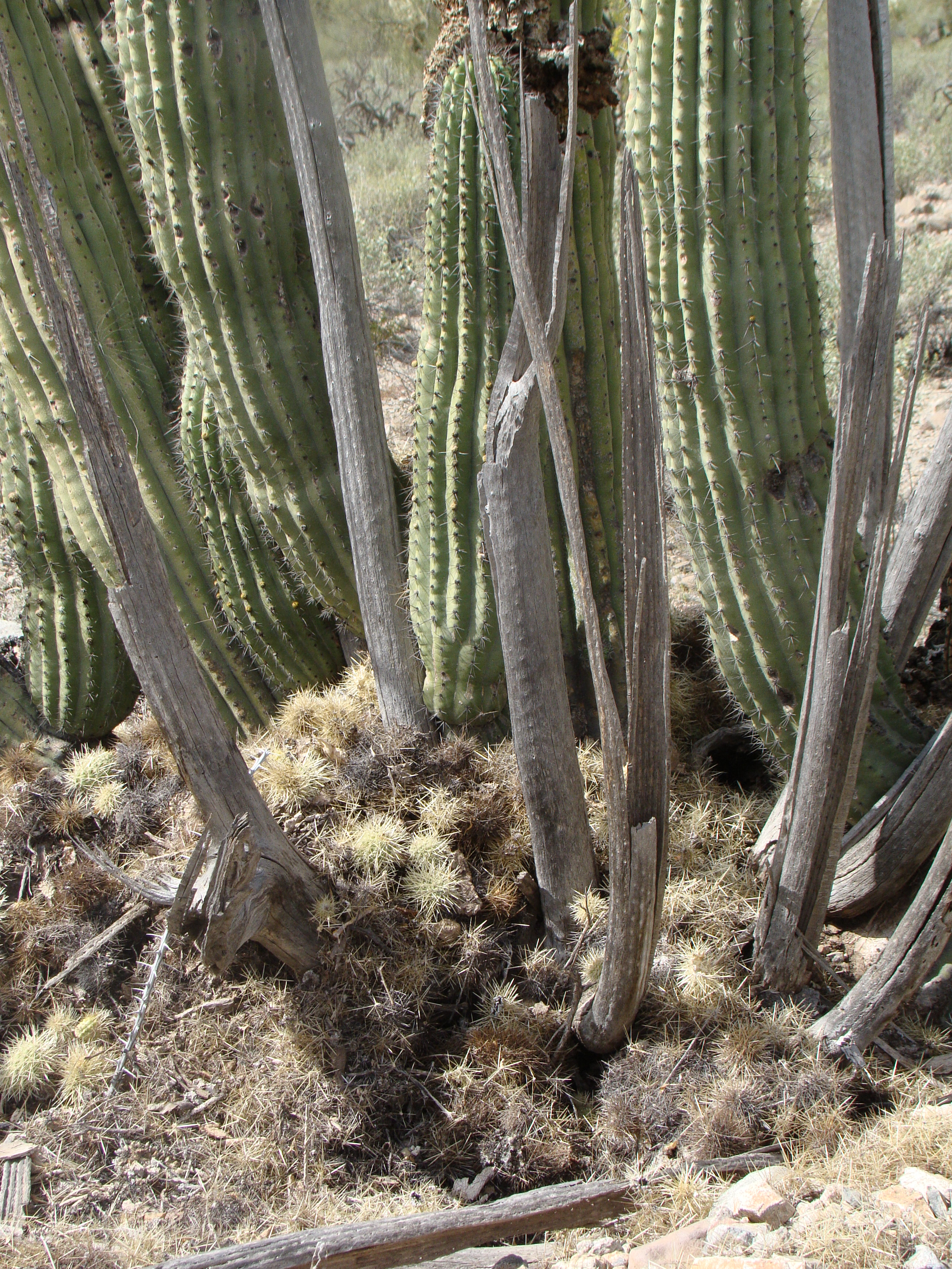 Packrat midden at the base of an organ pipe cactus