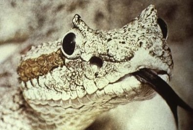 closeup of sidewinder head with tongue sticking out