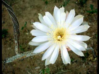 Queen of the Night Flower
